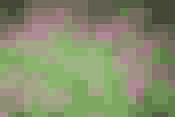 Storkenæb findes i mange udgaver, og de fleste er gode som blomstrende bunddække. Sorten 'Ingwersens Variety' er en af de allerbedste bunddækkeplanter, der trives på de fleste jordtyper.