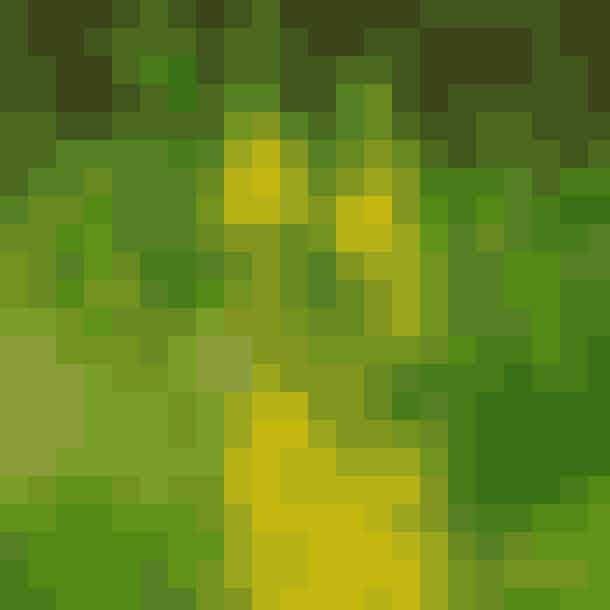 Afkog af kongelys brugt i afkog mod brystsyge og bl.a. ørepine. Desuden i udtræk på smertende led, her blev kongelys lagt i friske olier i 14 dage. En høj, statelig plante, der kan blive op til 180 cm.