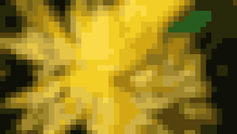 Gul stråleblomstrende krysantemum, som minder om en kaktus dahlia.