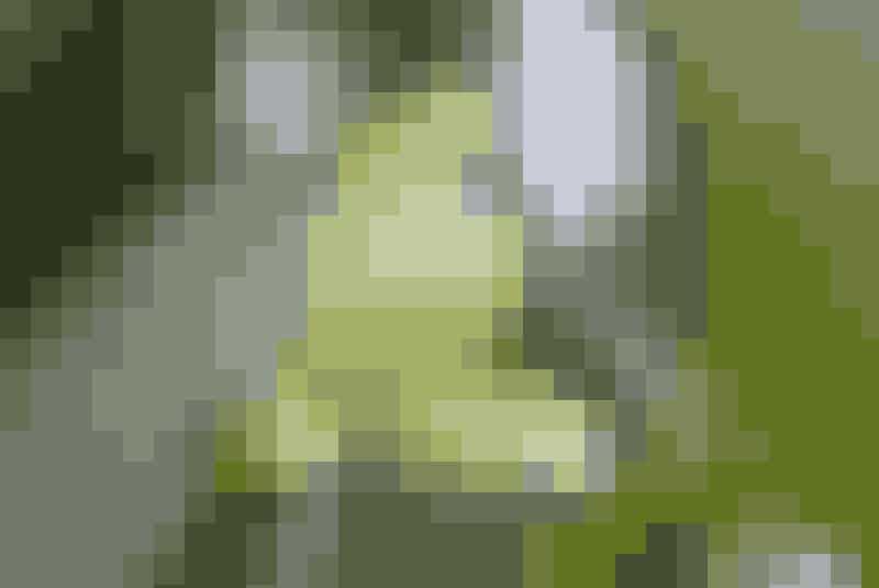 Vaniljeblomsten holder kun etdøgns tid og dannes først, nårplanten er omkring tre år gammel.Bælgene høstes fra seks tilni måneder efter, blomsten erblevet bestøvet.